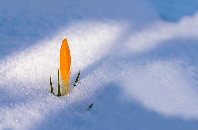 Resiliencia flor en la nieve